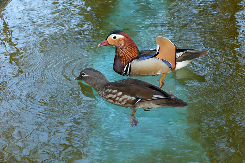 ducks, the turquoise water
